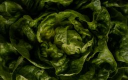 A head of butter lettuce